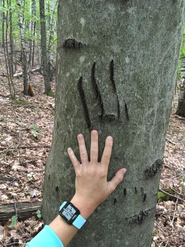 bear claw marks heidi